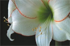 Amaryllis Picotee #1, 2006
