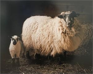 Lambing Season (1/5)