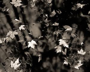 (#071) Fallen Leaves (1/34) by Frank Hunter