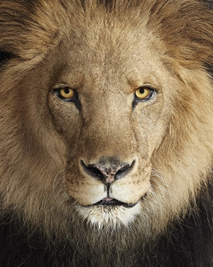 Lion No. 1 by Randal Ford