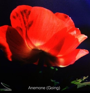 Anemone (Going) by Betty Edge