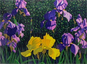 Bearded Iris (44/70)