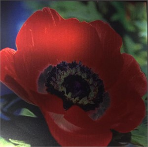 Anemone (Coming) by Betty Edge