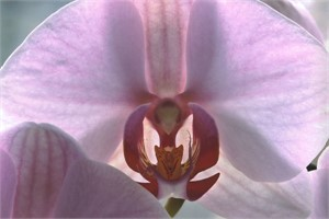 Orchid #22, 2006