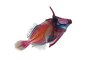 RIP Triggerfish 2 of 14, 2020