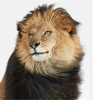 Lion No. 2 (1/10)