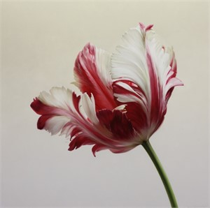Red and White Parrot Tulip I
