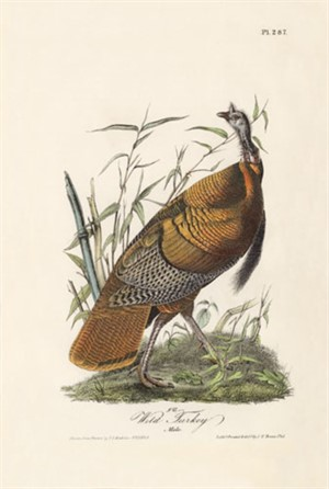 Wild Turkey - Male No. 58, Plate 287, 2008