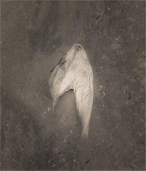 Gull Wing, Gulf Coast (1/30)