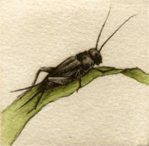 Cricket_UF