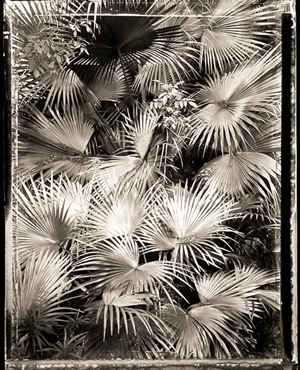 Vertical Palm Fronds (2/21) by Frank Hunter