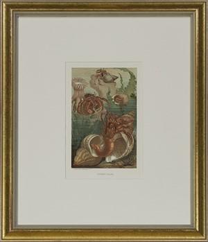 Hermit-Crabs, 1885