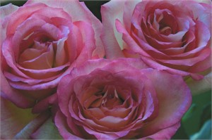 Cranberry Edged Roses, 2006