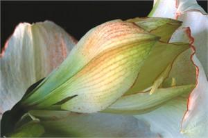 Amaryllis Picotee #2, 2006