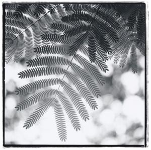 Mimosa by Kathryn Kolb