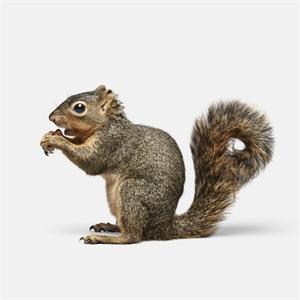 Squirrel No. 1 (1/10)