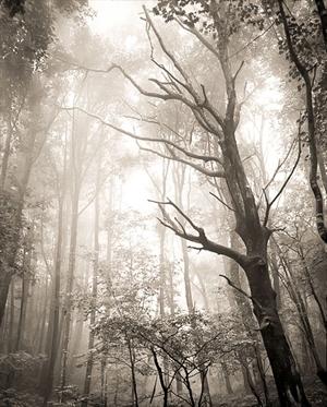 (#010) Dead Tree in Fog  by Frank Hunter