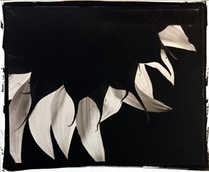 Sunflower #40 by Frank Hunter