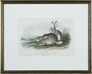 Townsend's Rocky Mountain Hare, c1846