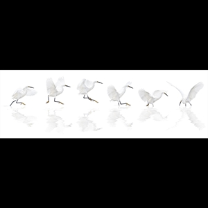 Dance of the Snowy Egret