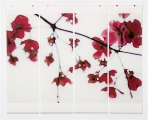 Dogwood (Red), 2013