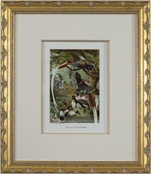 Paradise Flycatchers, 1885