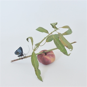 SATURN PEACH BRANCH WITH CALLITHEA BUTTERFLY, 2013