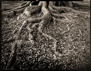 Tree Roots Middeton Place  Plantation, SC (1/21) by Frank Hunter