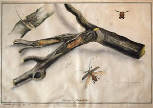 LAMIA AMPUTATOR, English, 1818