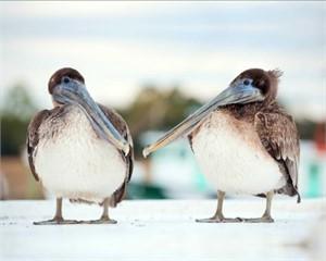 Talking Pelicans