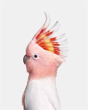 Pink Cockatoo (1/10)