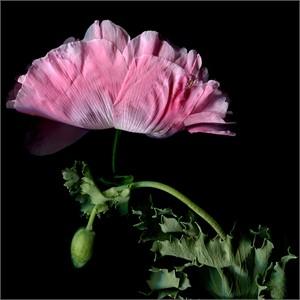 Poppy 2/3