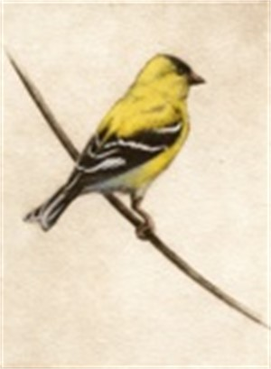 Goldfinch_UF