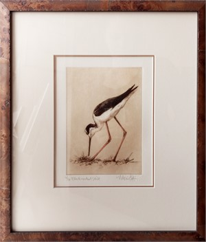 Black Necked Stilt_F