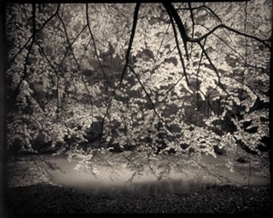 (#103) Beech Trees in Rain (edition of 8) by Frank Hunter