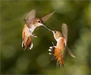 Sedona Hummingbirds-AW