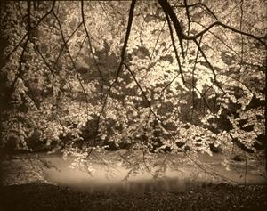 Beech Trees in the Rain (2/8) by Frank Hunter