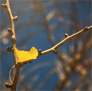 Ginkgo and Branches by Betty Edge