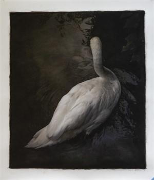 Swan, Tuscany, Italy (1/30)
