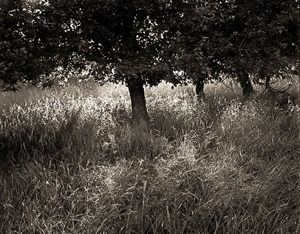 (#327) Apple Trees and Grass, Last Light, The Field, Northern Michigan by Frank Hunter