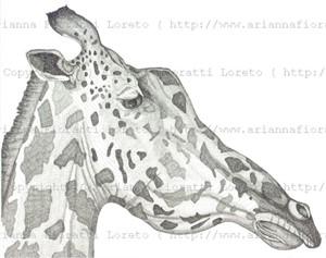 Giraffe, 2013