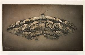 Owl Moth , 2019