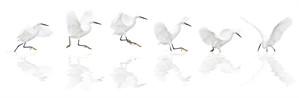 Dance of the Snowy Egret-Framed (1/1), 2018