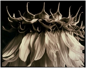 Sunflower 34 by Frank Hunter