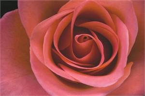 Peach Rose #2, 2005