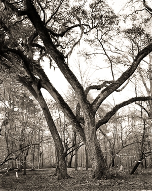 (#022) Oaks, Sheldon Churchyard, South Carolina by Frank Hunter