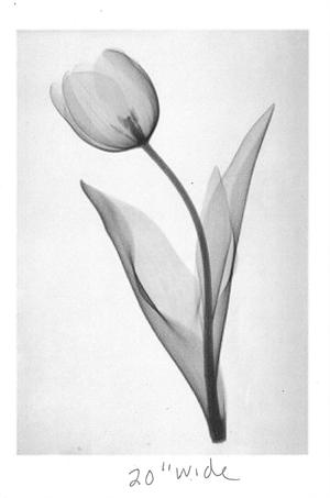 Tulip by Don Dudenbostel