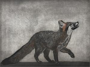 Gray Fox, 2018
