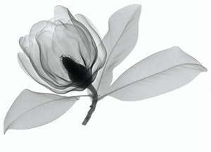 Southern Magnolia 3 by Don Dudenbostel