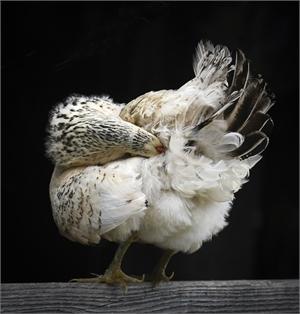Chicken (1/25)